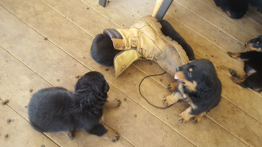 PUPPY, Rottweiler puppies, Responsibly bred puppies Puppies, Purebred rottweilers, puppies, dogs, pets, purebred, pure bread, pet, puppy, rotties, rottweilers