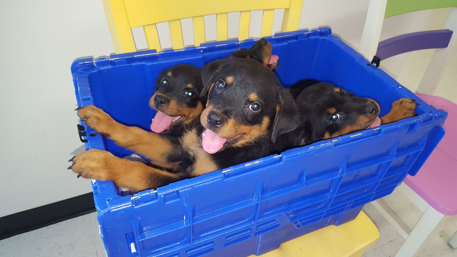 Rottweiler Puppies, Greenville, NC,