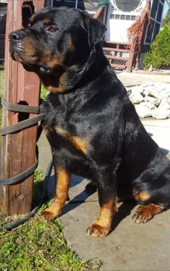 Purebred german rottweiler puppies, Greenville, NC,