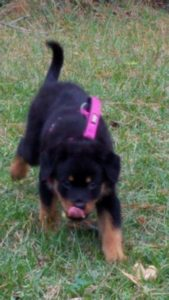 North Carolina Rottweiler Breeder