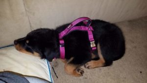 Purbred Germane Rottweiler pup -Happy Customer admires her new rottie