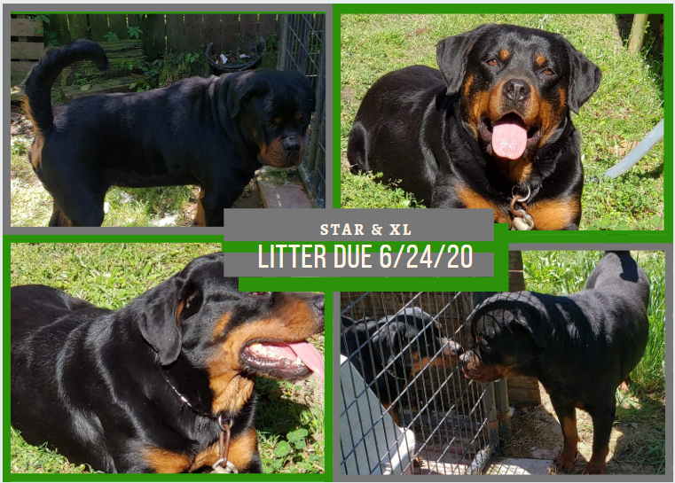 Our Next Rottie Litter 6.13.2020 Come get your PUPPY!!!