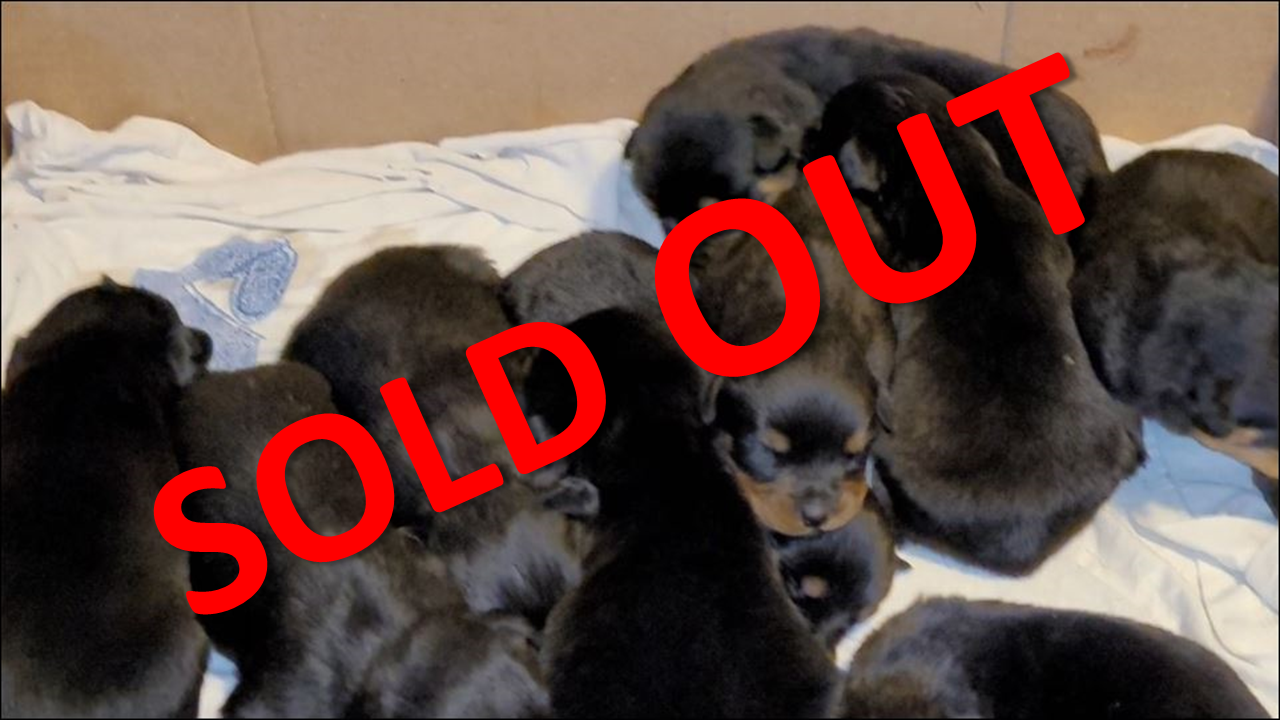 may rottweiler litter. Rottweiler puppies for sale, rottweilers for sale