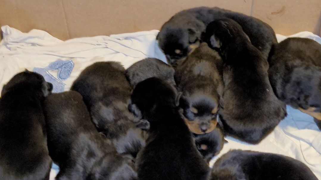 may rottweiler litter. Rottweiler puppies for sale, rorrweilers for sale